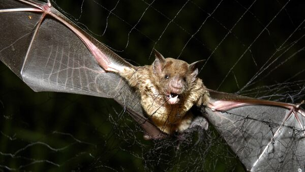 A vampire bat is caught in a net in Aracy, in the northeast Amazon state of Para, Brazil, on Thursday, Dec. 1, 2005. The bat is being studied for research by assistants at the Goeldi Museum Research Institute of Belem. - Sputnik International