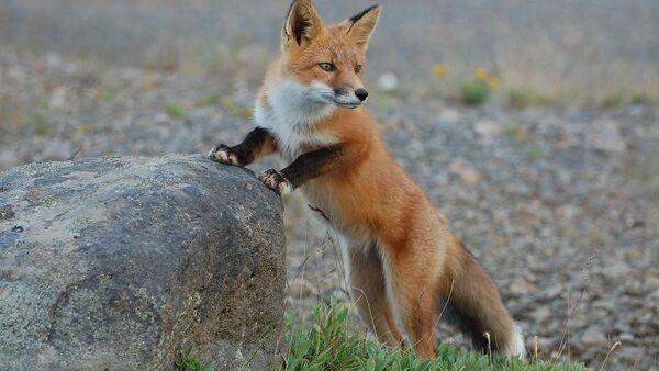 Fox - Sputnik International
