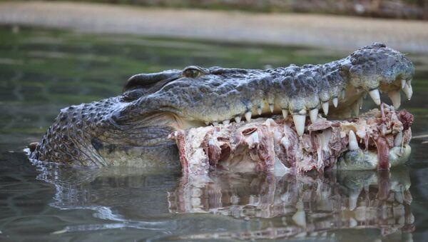 Northern Territory-born Elvis became known as Australia's crankiest crocodile in 2011 when he ate his keeper's lawnmower - Sputnik International