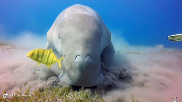 Chow Now, Sea Cow: Endangered Dugong Feasts on Ocean's Floor - Sputnik International