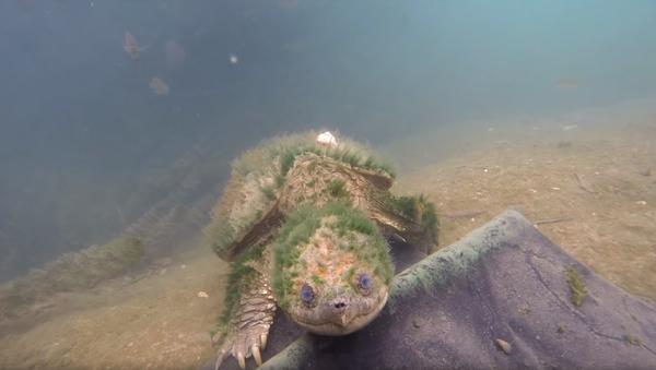 Elderly, Algae-Covered Snapping Turtle Greets Conservation Crew - Sputnik International