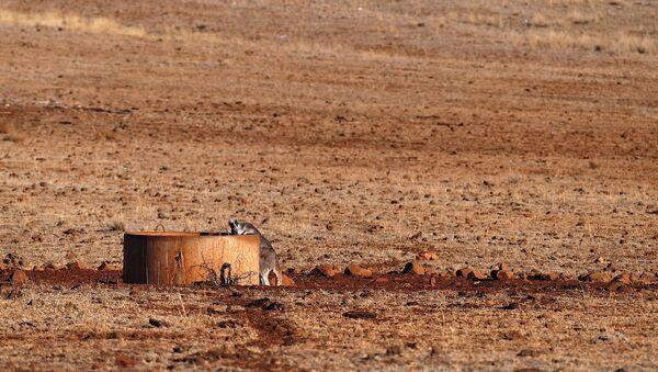 A kangaroo drinks from a water tank located west of the town of Gunnedah - Sputnik International