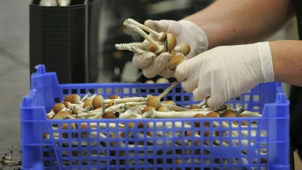 Magic mushrooms weighed and packaged at the Procare farm in Hazerswoude, central Netherlands - Sputnik International