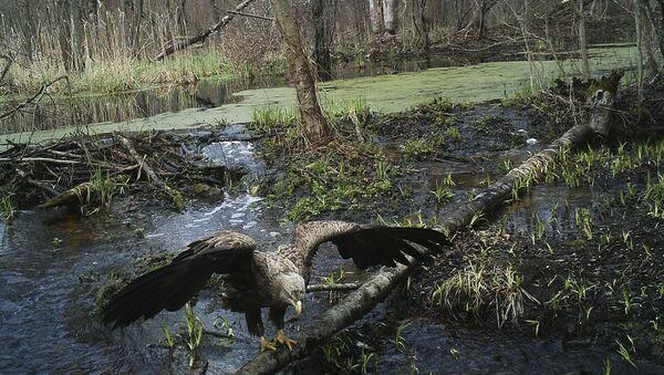 Орел в зоне отчуждения Чернобыльской АЭС - Sputnik International