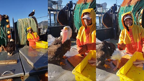 America First? Bald Eagle Nabs Fish From Canadian Trawling Ship - Sputnik International