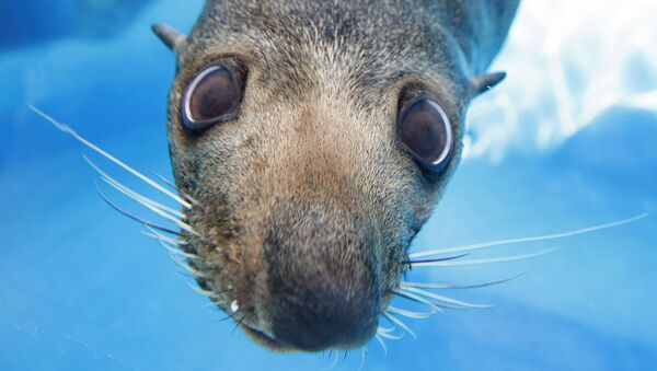 Mav,a New Zealand fur seal looks through the glass of a viewing window at the preview of a new exhibit at Sydney's Taronga Zoo Wednesday, April 2, 2008. - Sputnik International