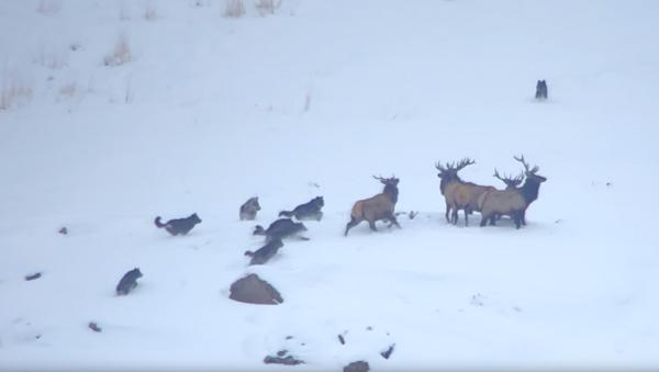 Elk Evade Wolves, Achieve Higher Ground During Snowy Showdown - Sputnik International