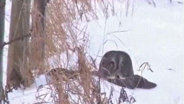 Owl Dives Headfirst in the Snow - Sputnik International