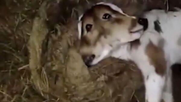 Two-Headed Calf Allegedly Born in India - Sputnik International