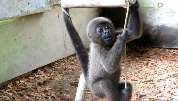 Second Chance: Baby Woolly Monkey Rescued From Black Market - Sputnik International