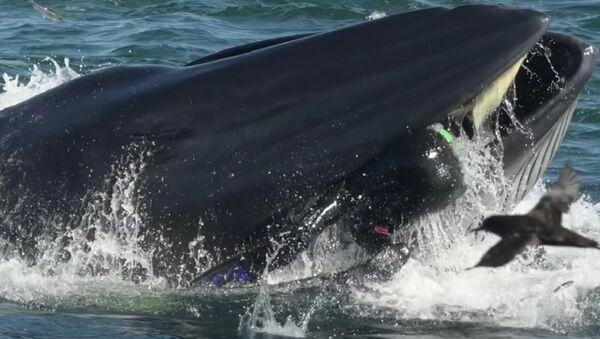 Bryde's Whale - Sputnik International