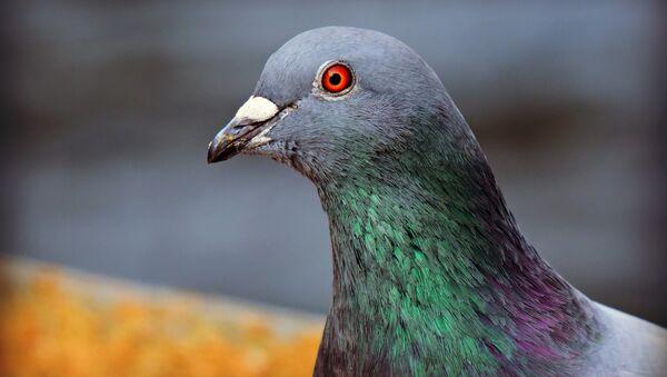 Pigeon - Sputnik International