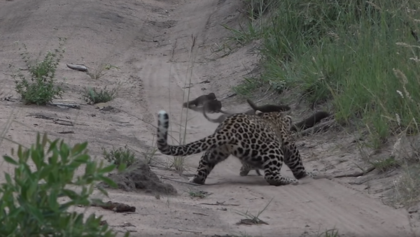 Mongoose Narrowly Avoids Becoming Young Leopard's Lunch - Sputnik International