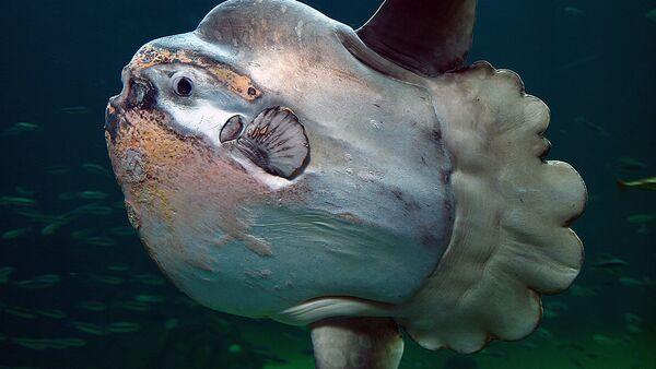 An ocean sunfish in Nordsøen Oceanarium, Hirtshals, Denmark - Sputnik International