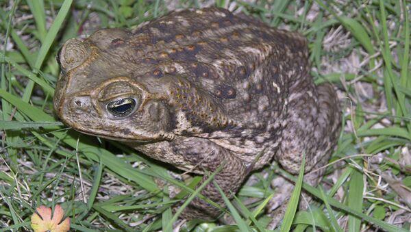 Bufo toads - Sputnik International