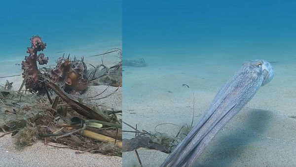 Cephalopod Camouflage: Octopus Takes Off, Turns Opaque - Sputnik International