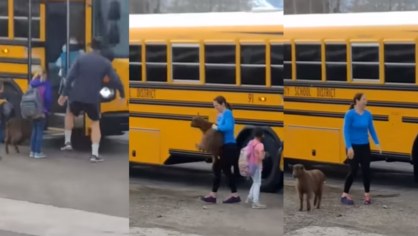 New Kid on the Bus: Goat Tries to Catch a Ride on Schoolbus - Sputnik International