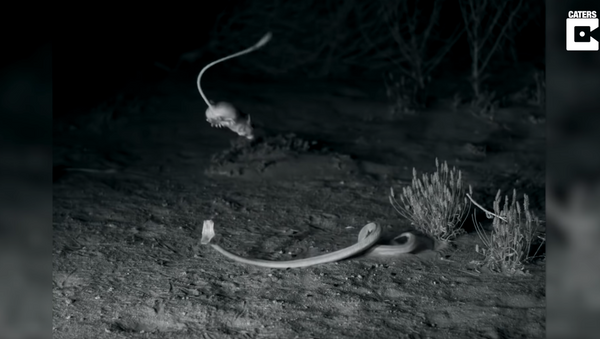 Ninja Rodents: Kangaroo Rats Evade Venomous Sidewinder Rattlesnakes - Sputnik International