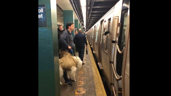 Video of 'Wrapped' Dog Denied Ride Sparks Debate Over NY Subway's Carrier Policy - Sputnik International