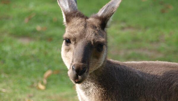 Kangaroo (File photo). - Sputnik International