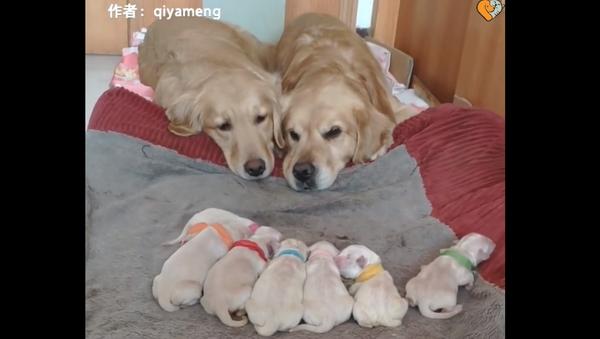 Proud Parents: Golden Retrievers Fight Sleep While Watching Newborn Pups - Sputnik International