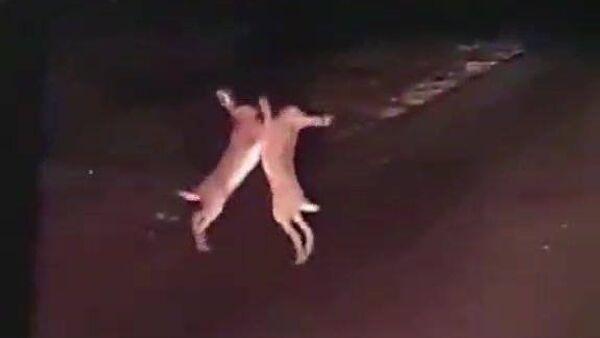 Two rabbits fight - Sputnik International