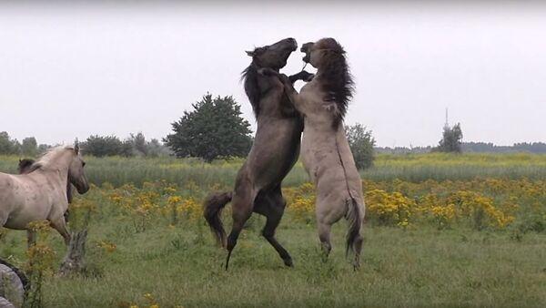 Fighting wild horse gets help from friend during scuffle - Sputnik International