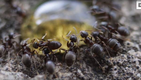 Macro Magnificence: Ant Colony Devours Honey Droplet - Sputnik International