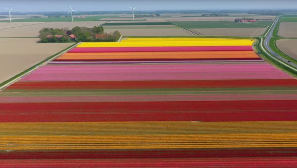 Drone Captures Vivid 4K Footage of Holland Tulips in Bloom - Sputnik International