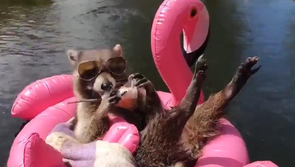 Laid-Back Raccoon Beats the Heat, Laps Up Cool Treat - Sputnik International