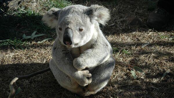 Seemingly dejected koala looks in the distance - Sputnik International
