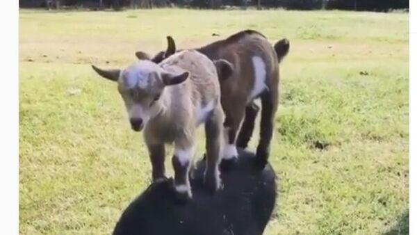 Goats trying to ride a boar - Sputnik International