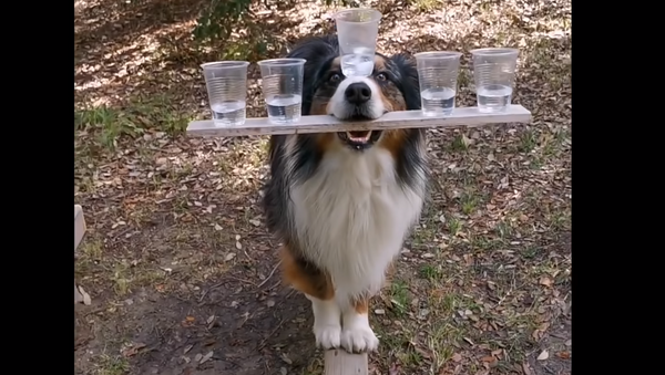 Good Boy Balances Five Cups of Water, Walks Beam - Sputnik International