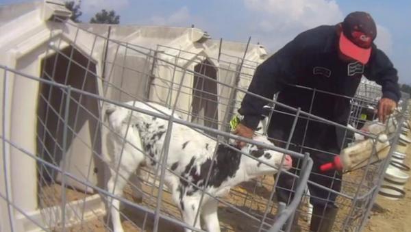 Undercover Activists Capture Rampant Abuse on US Dairy Farm - Sputnik International
