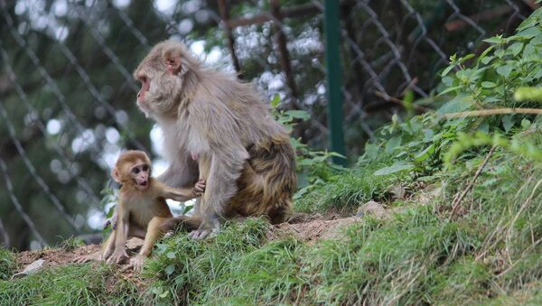 Baby macaque and its mother - Sputnik International