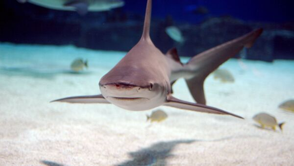 Sandbar shark, which is native to the Atlantic Ocean and the Indo-Pacific  - Sputnik International