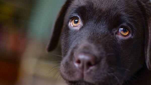 Young dog gives puppy dog eyes - Sputnik International