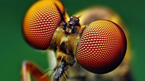 Eyes of a Holcocephala fusca Robber Fly  - Sputnik International