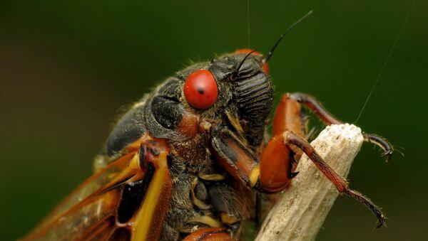 Periodical Cicada   - Sputnik International