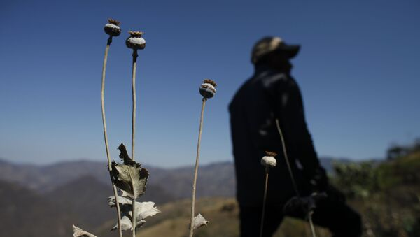 A man stands in a poppy flower field that the government sprayed with an herbicide in the Sierra Madre del Sur mountains of Guerrero state, Mexico. - Sputnik International