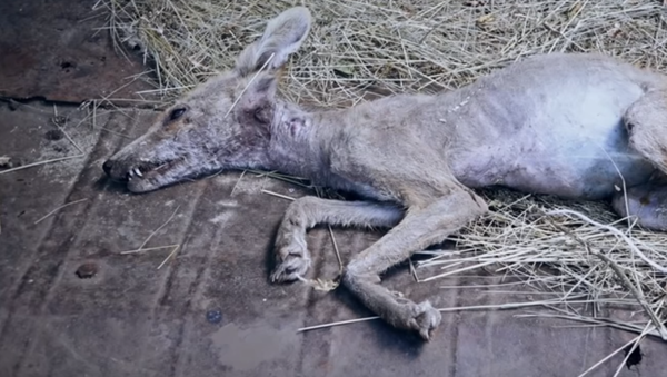Carcass of a creature killed by a resident of the village of Ivanivka, Ukraine, on 3 July, 2019. - Sputnik International