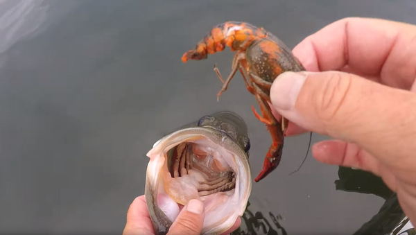 Down the Hatch: Angler Gives Treat to Largemouth Bass Before Release - Sputnik International