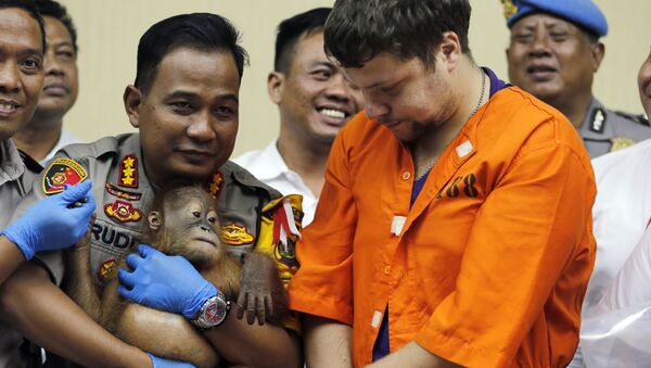 Denpasar police chief Ruddi Setiawan, center left, holds a two-year-old male orangutan as Russian Andrei Zhestkov, center right, stands during a press conference in Bali, Indonesia on Monday, March 25, 2019. Indonesian authorities have arrested the Russian tourist who was attempting to smuggle a drugged orangutan out of the resort island of Bali, a conservation official said Sunday. Orangutans are listed as critically endangered by the International Union for the Conservation of Nature. - Sputnik International