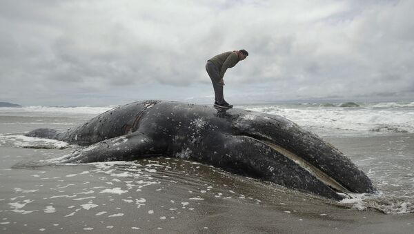 In this May 6, 2019 file photo, Duat Mai stands atop a dead whale at Ocean Beach in San Francisco. Federal scientists on Friday, May 31 opened an investigation into what is causing a spike in gray whale deaths along the West Coast this year - Sputnik International