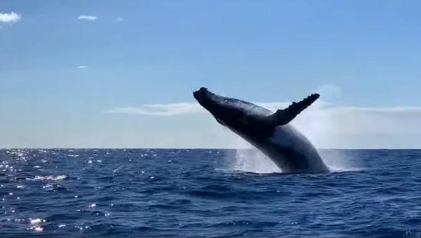 Priceless! Australian Charter Guests Witness Double Whale Breach - Sputnik International