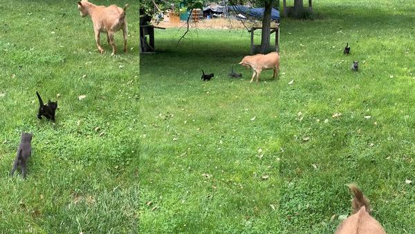 No Kidding Around: Tiny Kittens Strike Fear Into Goat  - Sputnik International