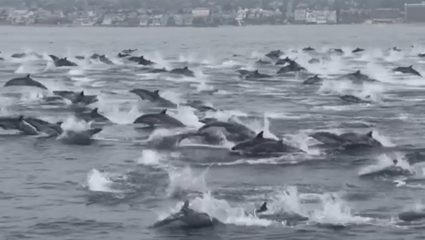Dozens of Young Dolphins Spotted off California Coast  - Sputnik International