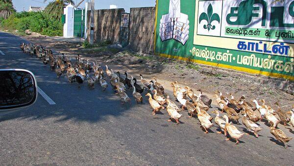 India - Sights & Culture - Overtaking ducks on the highway  - Sputnik International