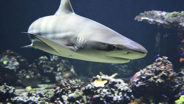 Blacktip reef shark  - Sputnik International