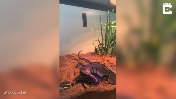 Owner Captures Moment Python Passes Gas - Sputnik International